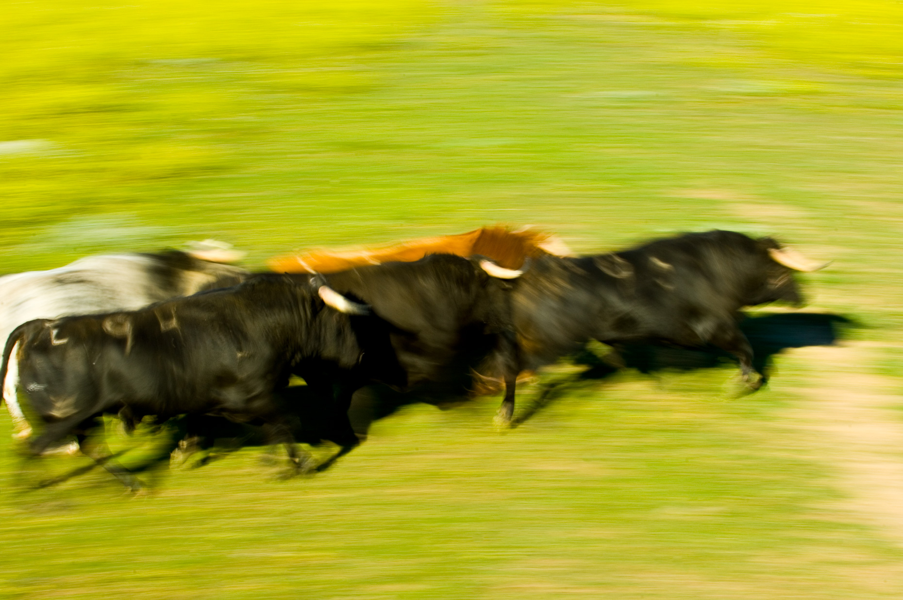 Brave bulls in movement